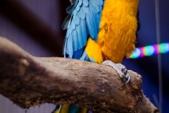 Geoffrey the Macaw at Christmas