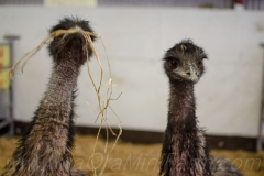 Emus with hay