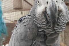 Benny the African Grey