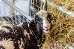 Jacob sheep eating hay