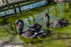 Pair of Black Swans