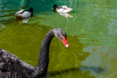 Black Swans on Pond